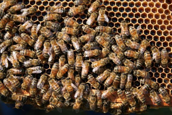 Prédateurs des abeilles