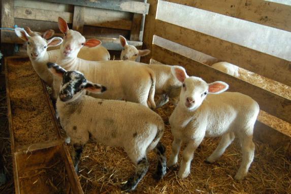 Journée régionale ovine