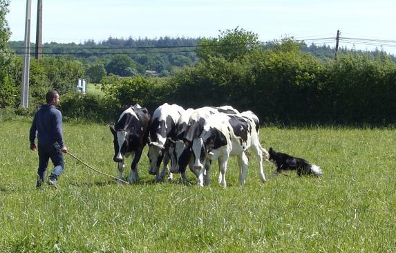 Loire-Atlantique Chiens de troupeau en concours le 4 juin prochain
