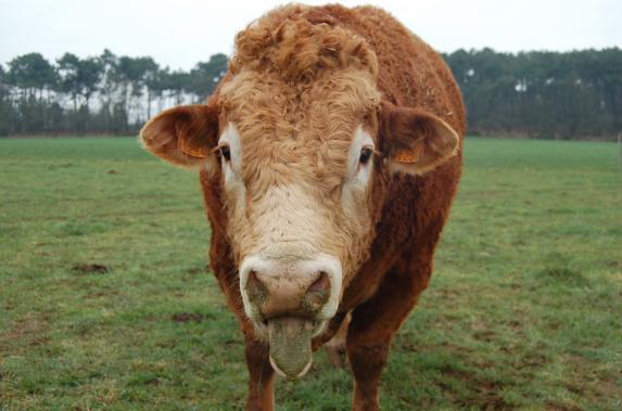 Loire-Atlantique - Bovins viande : trois rendez-vous pour parler revenu !