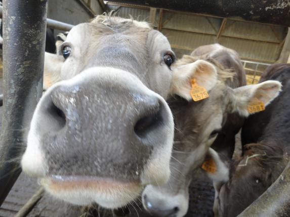 Santé du troupeau laitier