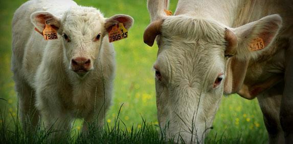 Réunion d'information sur la nouvelle aide vache allaitante, lundi 2 mars