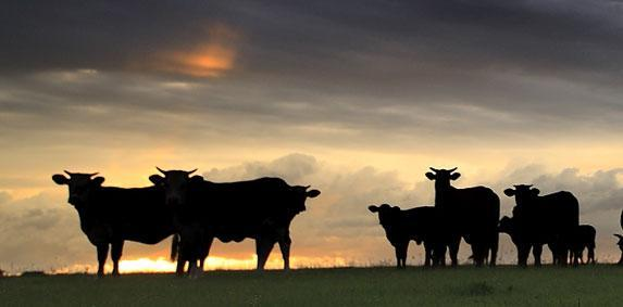 Aide � l�engraissement des  jeunes bovins : Le ministre de l�Agriculture se r�tracte